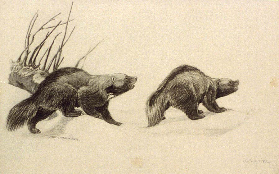 """Charcoal drawing from Charles Livingston Bull's """"Two Wolverines,"""" published between 1890 and 1932. Library of Congress Prints and Photographs Division. CAI-Bull, no. 17"""