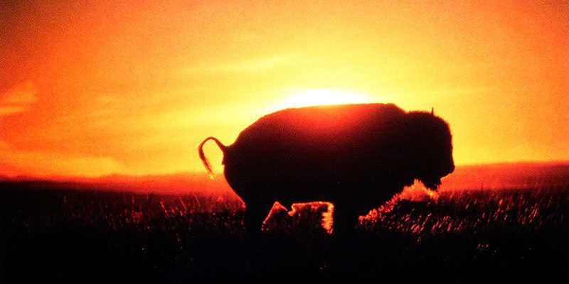 Buffalo, Ft. Belknap Reservation. Photo by Ken Blackbird.