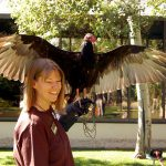 "The birds of the Draper Museum Raptor Experience are part of the Buffalo Bill Center of the West's ""Live at the Museum"" Family Fun Day June 27. Here Turkey Vulture Suli spreads her wings for Melissa Hill."