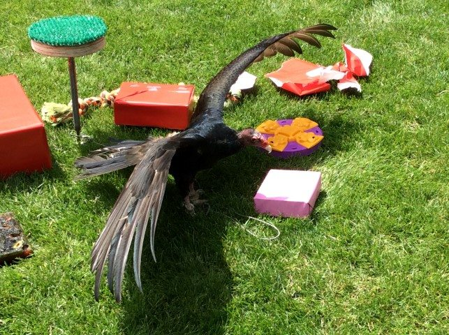 Turkey vulture amidst her presents.