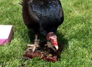 "Turkey vulture with her ""birthday cake."""