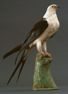 A Treasure from Our West: American swallow-tailed kite. DRA.304.17