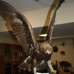 Treasures from Our West: Golden eagle taxidermy mount