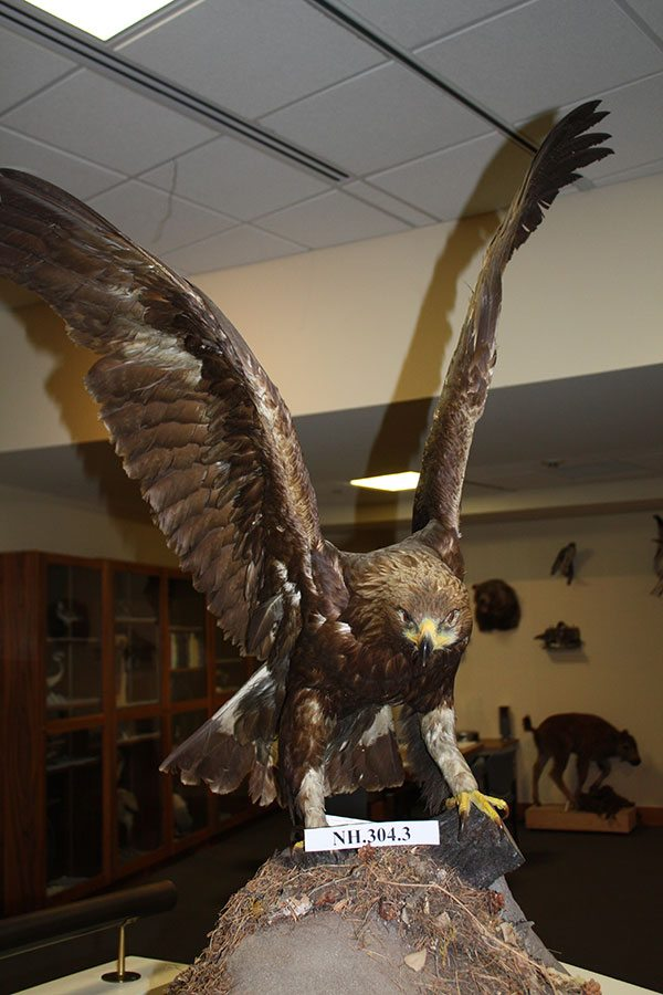 A Treasure from Our West: Golden eagle taxidermy mount. NH.304.3