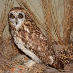 A Treasure from Our West: Short-eared owl. DRA.304.18