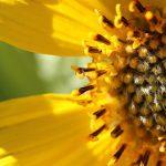 Yellowstone wildflowers: Balsam root