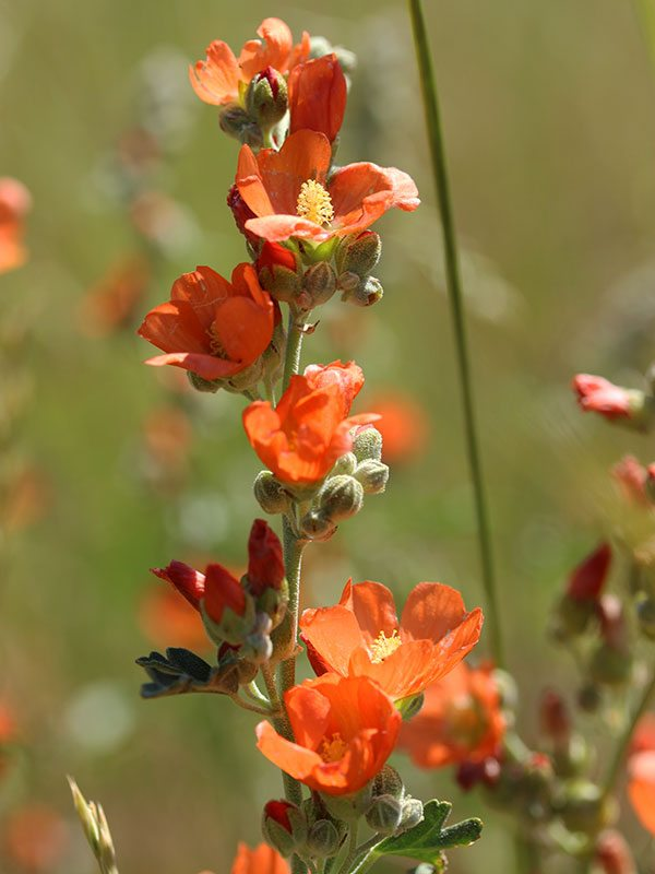 Yellowstone wildflowers: Coulter's Globemallow