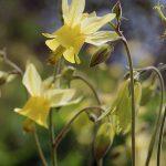 Yellowstone wildflowers: Coville's columbine
