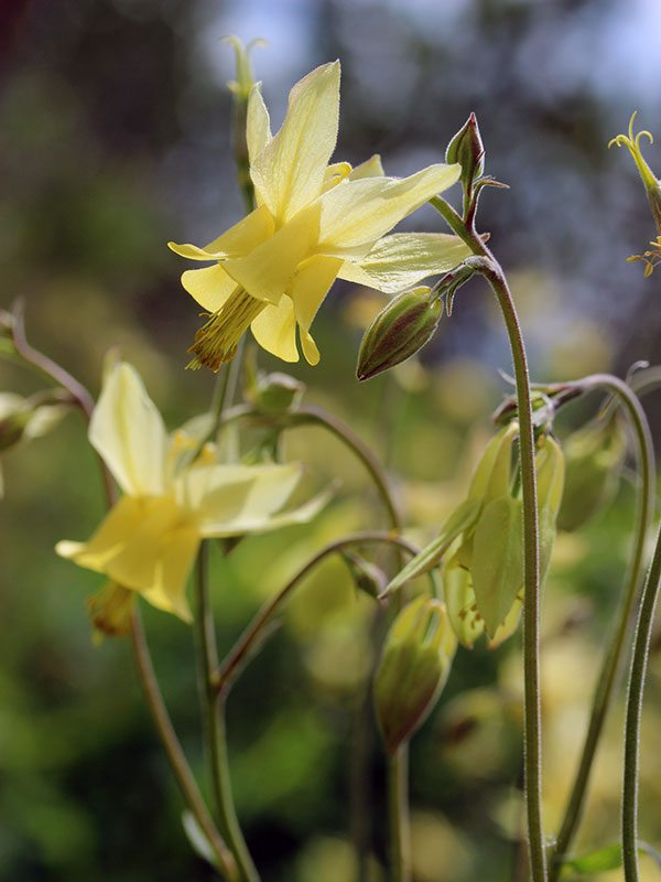 Yellowstone wildflowers: Coville's Columbine