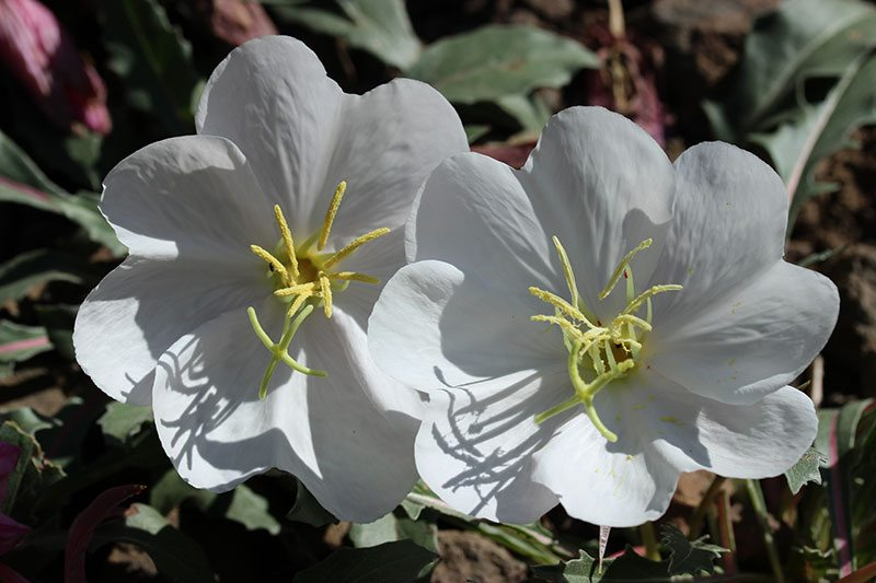 Yellowstone wildflowers: Evening Primrose