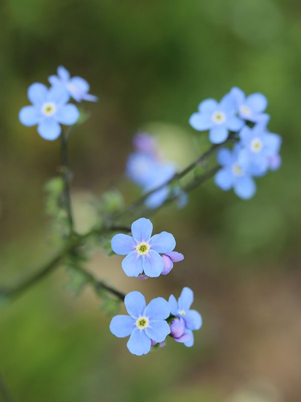 Yellowstone wildflowers: False (also known as Wild) Forget-Me-Not