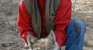 Mike Jimenez with sedated wolf