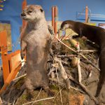 Treasures from Our West: River Otters, Draper Natural History Museum