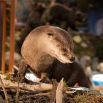 A Treasure from Our West: River otter, Draper Natural History Museum