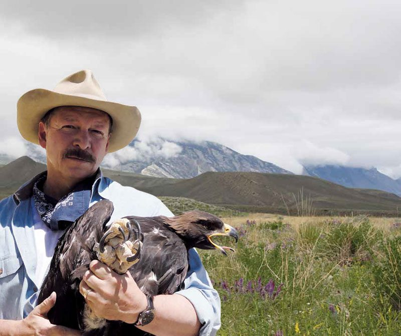 Preston captured this young golden eagle by hand. It was examined, weighed, fitted with a U.S. Department of Interior band, and released unharmed within a few minutes. Photo by Research Assistant Richard Jones.