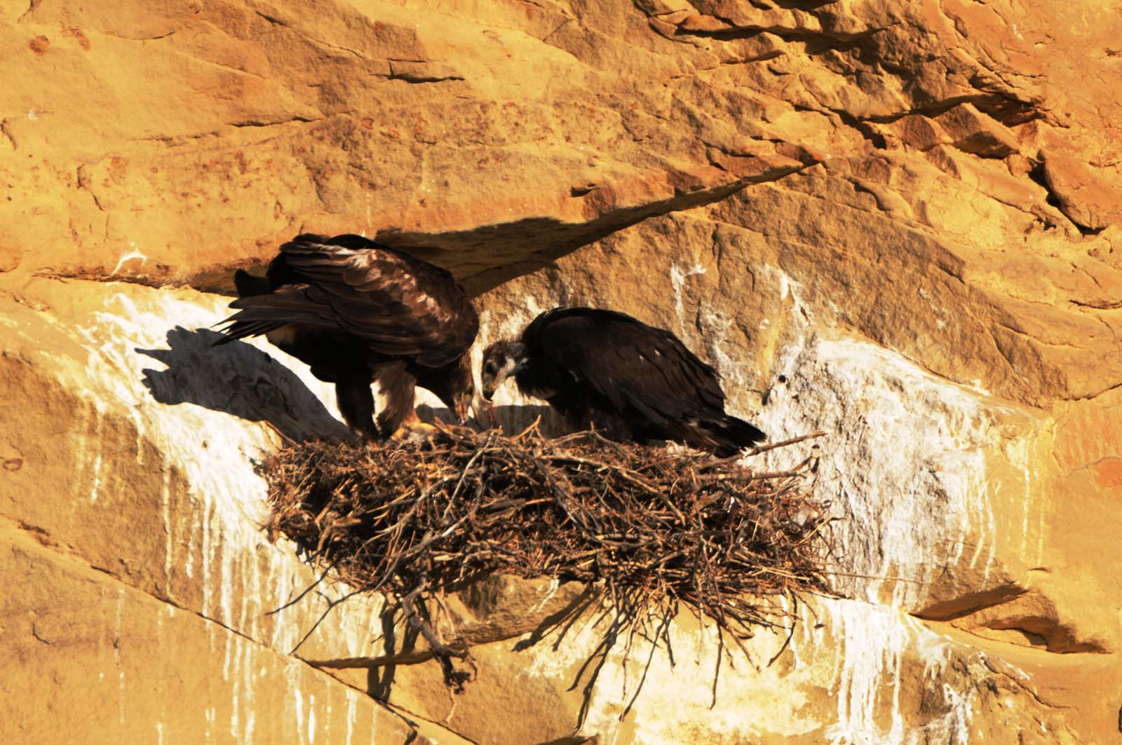 """A golden eagle nestling has an urgent call for """"food delivery"""" from its parents. Photo by Golden Eagle Posse member Richard Brady."""