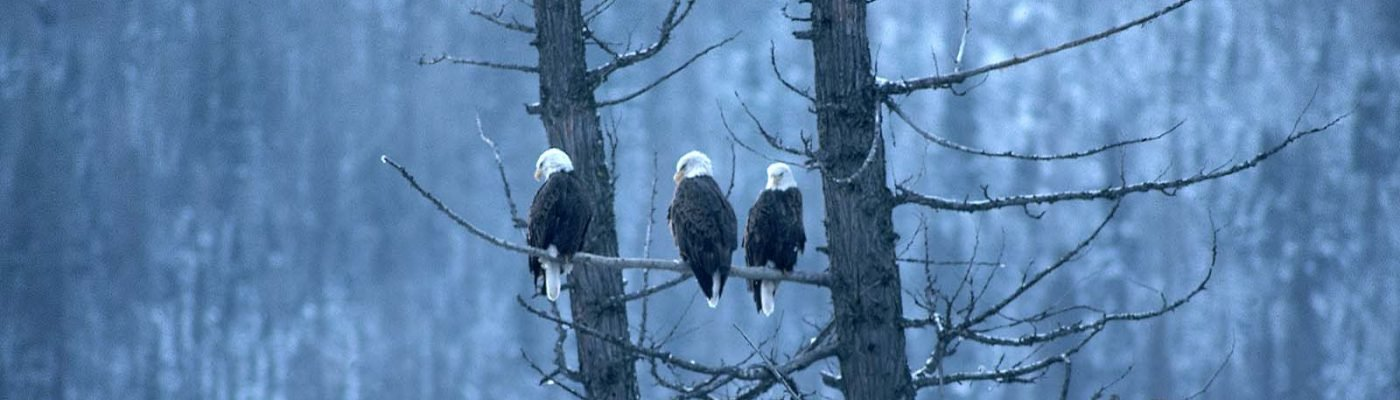 Three bald eagles perched on tree branch. Gabby Barrus Collection. Gift of the Barrus Family, Marj, Mick, Jim and Page Barrus. SL.301.08.311 (detail)