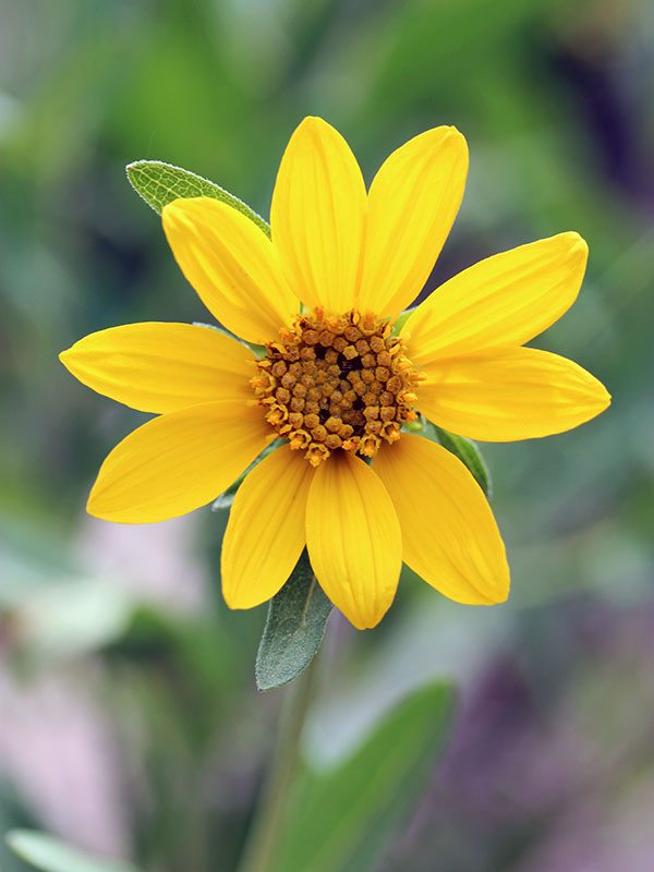 Yellowstone wildflowers: a yellow, daisy-shaped flower. There are some many pretty flowers similarly shaped. Anyone know which this one is?