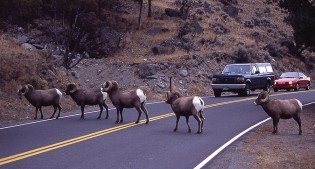 A line of big horn sheep, the subject of our December 4 Lunchtime Expedition, cross the road.