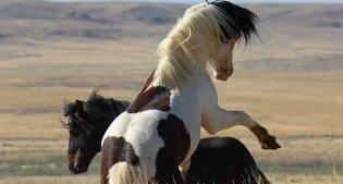 Wild horses rearing