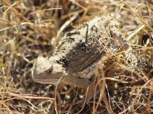 An unexpected critter watched the horses too: a horned toad
