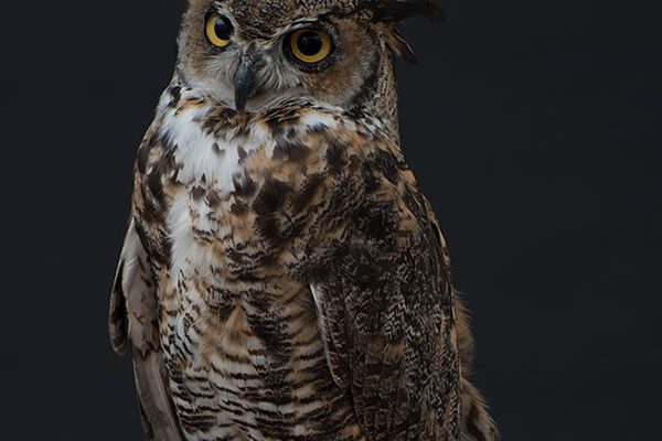 A living Treasure from Our West: Teasdale the great horned owl