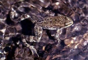The Columbia spotted frog disappears into its surroundings. 1972, NPS photo.