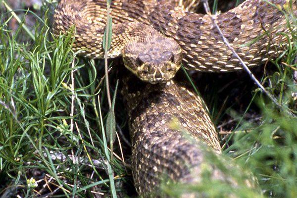 Prairie rattler. Roy Wood, 1990. NPS photo.