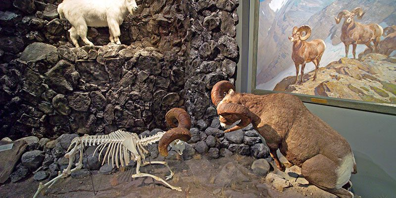 Treasures from Our West: Rocky Mountain Bighorn sheep. DRA.305.10, DRA.305.38