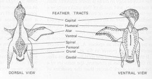 Diagram showing the feather tracts of a bird. Courtesy of http://people.eku.edu/ritchisong/feathers.html