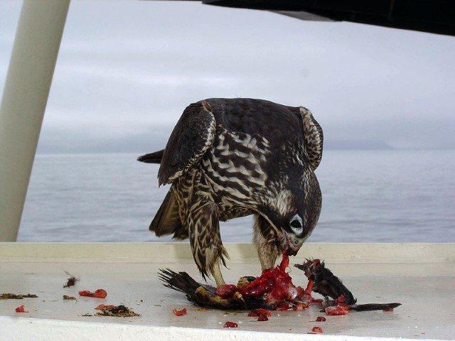 Immature peregrine falcon with its kill.