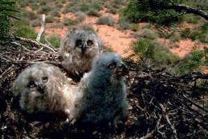 Great horned owl chicks waiting to be fed