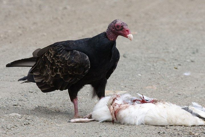 Turkey vulture with a gull carcass it has found.