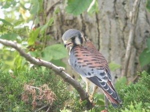American kestrel scanning the ground for prey.