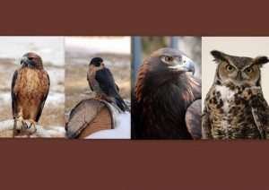 Red-tailed hawk, peregrine falcon, golden eagle, great horned owl