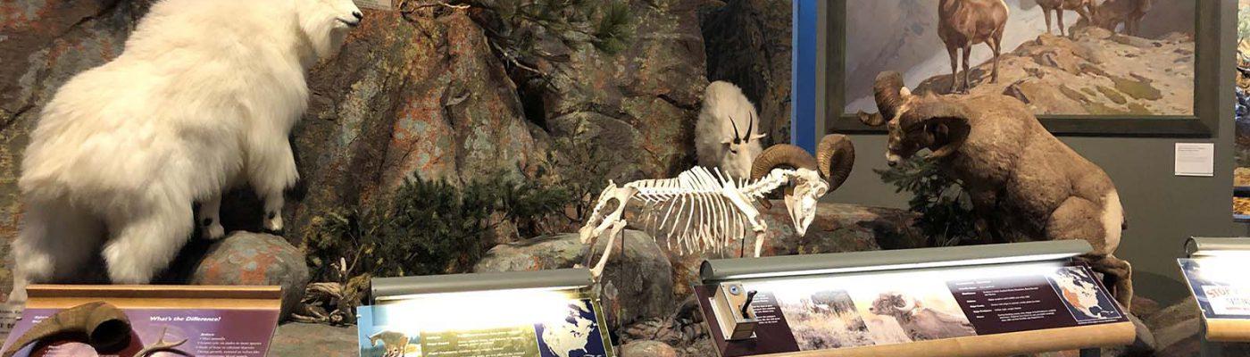 Rocky Mountain Bighorn Sheep. Scientific name: Ovis canadensis. Whole mount DRA.305.10; skeletal mount DRA.305.38