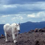 Mountain goat. NPS photo by Nathan Varley,1993.