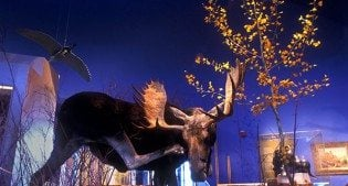 A Treasure from Our West: Shiras bull moose. NH.305.35