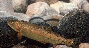 Yellowstone cutthroat trout. NPS photo.
