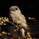 A Treasure from Our West: Great gray owl. DRA.304.78