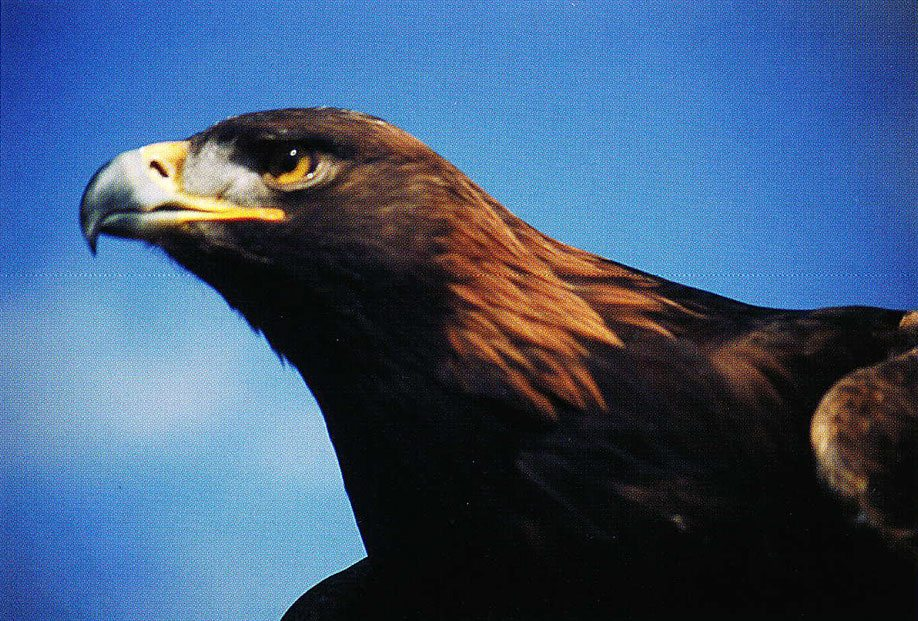 The ever-changing relationship between wildlife, like the grizzly or this golden eagle, and human cultures in the West is a key topic that will be addressed by the natural history museum. Photo by C.R. Preston.