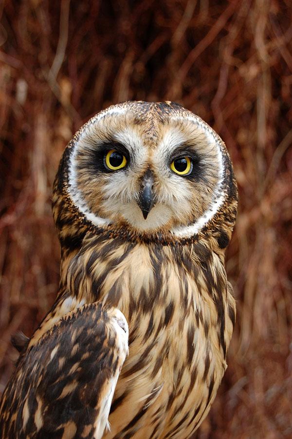 Amelia the short-eared owl