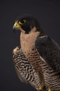 Peregrine falcon Hayabusa is just one of our raptors.