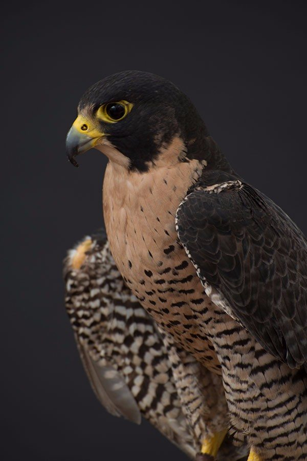 Hayabusa the peregrine falcon