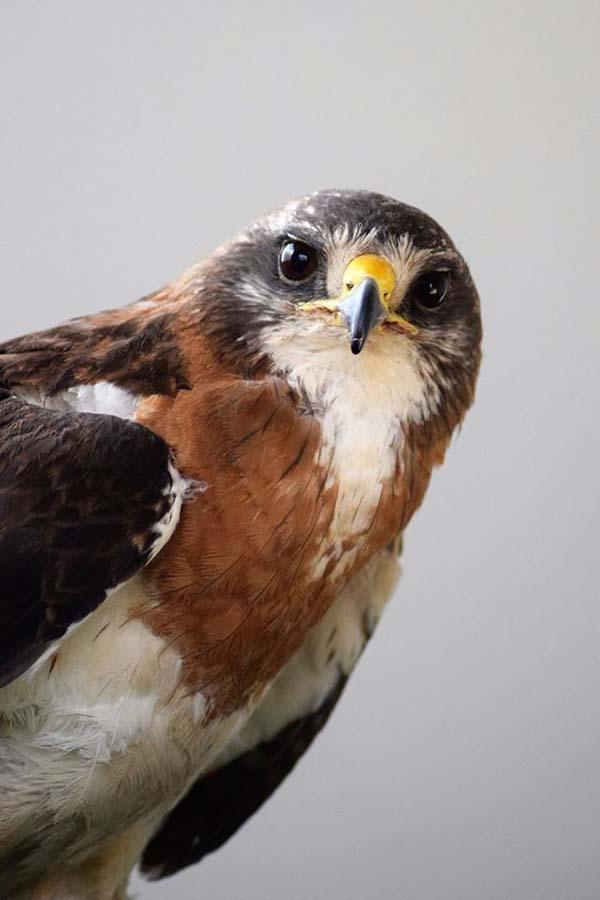 Hayden the Swainson's hawk