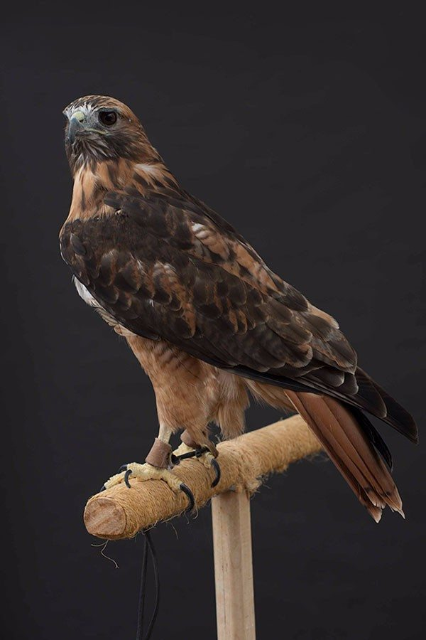 Isham the red-tailed hawk