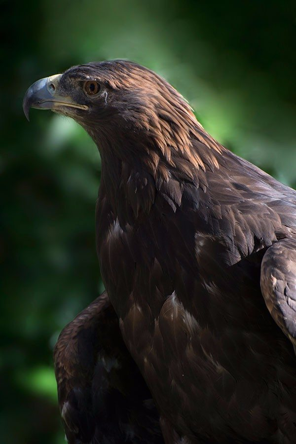 Kateri the golden eagle