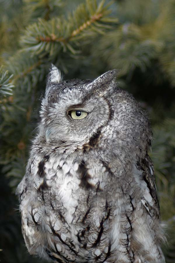 Monte the eastern screech owl
