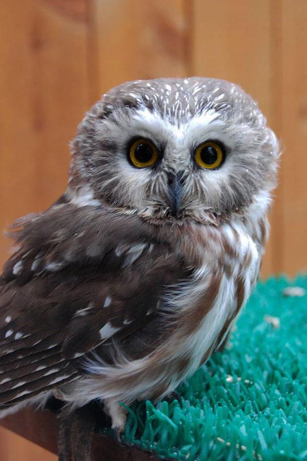 Remington the saw-whet owl