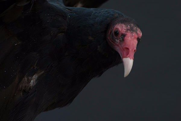 Suli the turkey vulture